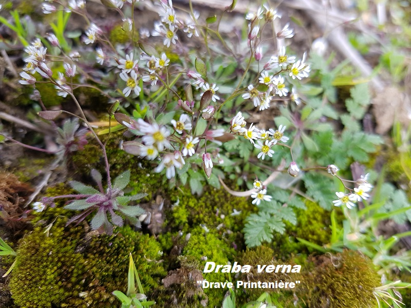 Photo Draba verna Charles MILLET Champagne Gabriel Boutet