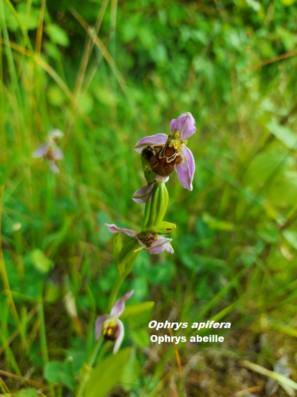 Photo Ophrys apifera Charles MILLET Champagne Gabriel Boutet