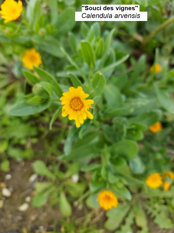 Calendula_officinalis.jpg