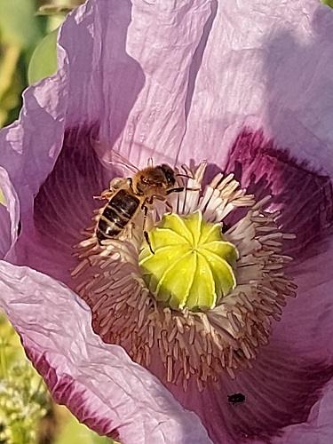 photo abeille sur pavot
